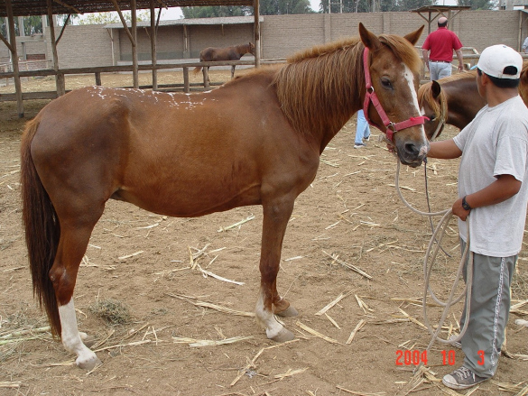DSLD - Horse with dropped fetlocks