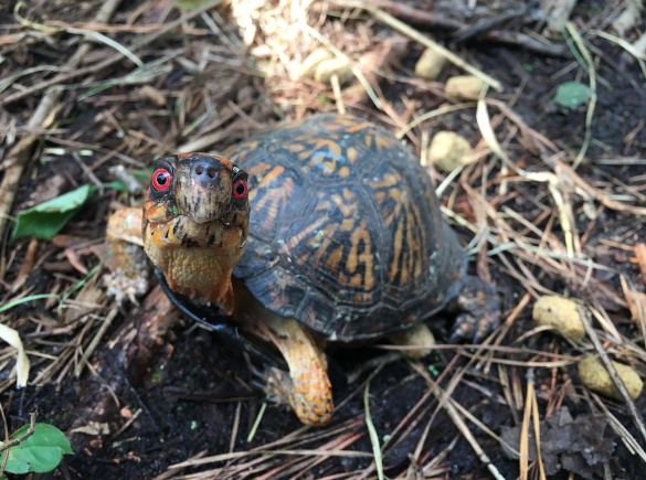 Warnell Box Turtles Header Image